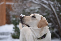A Labrador Retriever looking Up at the Sky Royalty Free Stock Photography