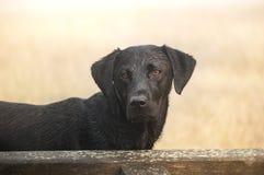 Labrador retriever Stock Photography