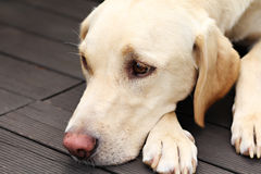 Labrador retriever lying on wood floor Royalty Free Stock Images