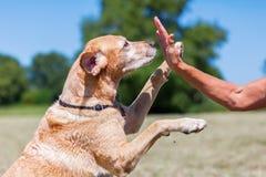 Labrador Retriever makes High Five Royalty Free Stock Photos