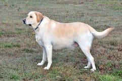 Labrador Retriever. A male yellow Labrador retriever Royalty Free Stock Images