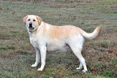 Labrador Retriever. A male yellow Labrador retriever Stock Image