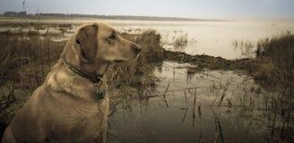 Labrador i marsh Royaltyfri Fotografi