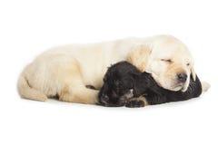 Labrador Retriever and Miniature Schnauzer black puppies Royalty Free Stock Photography