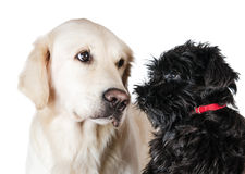 Labrador retriever and miniature schnauzer Royalty Free Stock Image