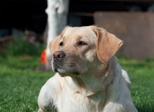 Labrador (retriever) mother Stock Photography
