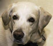 Labrador Retriever Royalty Free Stock Images