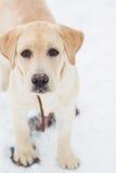 Labrador retriever na zima spacerze Zdjęcia Stock