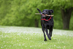 Labrador Retriever. In a Natural Setting royalty free stock photography