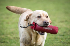 Labrador Retriever Stock Photos
