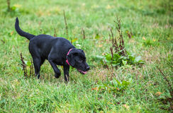 Labrador retriever on nature Stock Photos