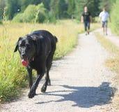 Labrador retriever negro Imagen de archivo libre de regalías