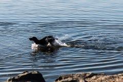 Labrador retriever negro que galopa a través del agua Imagen de archivo