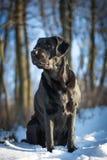 Labrador retriever negro que mira a la izquierda en el invierno Foto de archivo libre de regalías