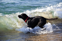 Labrador retriever nero che gioca nella spuma Fotografia Stock