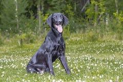 Labrador retriever nero sbalorditivo che si siede su un prato inglese verde in Finlandia fotografia stock libera da diritti