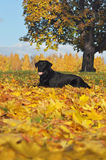 Labrador retriever no outono Fotos de Stock Royalty Free