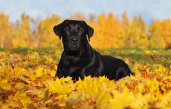Labrador retriever no outono Imagem de Stock