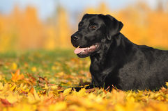 Labrador retriever no outono Fotografia de Stock