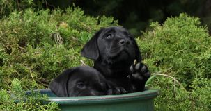 Labrador retriever noir, chiots jouant dans un pot de fleurs, Normandie, mouvement lent banque de vidéos