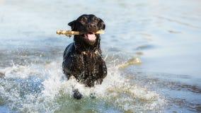 Labrador retriever noir nage image libre de droits