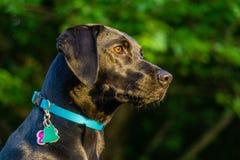 Labrador retriever noir posant pour l'appareil-photo image libre de droits