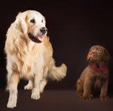 Labrador retriever, oro y chocolate junto Fotografía de archivo libre de regalías
