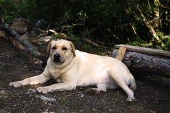 Labrador. Retriever pale-yellow in the wood on walk Stock Photos