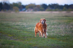 Labrador retriever in park at the sunrise - back lit. Royalty Free Stock Photography