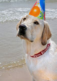 Labrador retriever with party hat Royalty Free Stock Photos