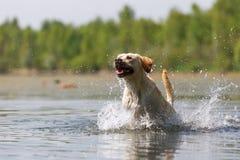 Labrador retriever passa un lago Fotografia Stock