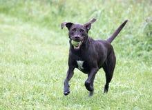 Labrador retriever/perro mezclado boxeador de la raza imagen de archivo libre de regalías