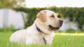 Labrador retriever pies w parku zdjęcie wideo