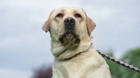 Labrador retriever pies w parku zbiory