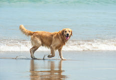 Labrador Retriever playing at the beach Stock Images