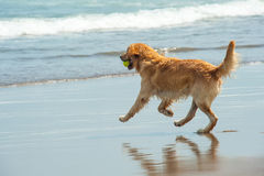 Labrador Retriever playing at the beach Stock Photo