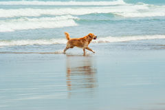 Labrador Retriever playing at the beach Stock Photography