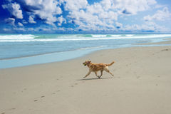 Labrador Retriever playing at the beach Stock Image