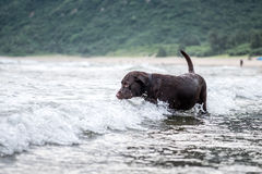 Labrador Retriever playing at the beach Royalty Free Stock Images