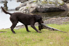 Labrador retriever playing with a branch. A Labrador retriever dog is playing with a branch Royalty Free Stock Images