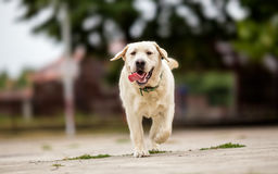 Labrador retriever playing in park Royalty Free Stock Photography