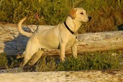 Labrador Retriever pointing. Yellow Labrador Retriever pointing, standing tall on the beach in the logs royalty free stock images