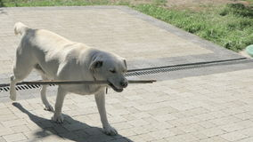 Labrador retriever porta un bastone stock footage
