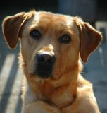 Labrador retriever-portait stockbilder