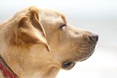 Labrador retriever-Porträt stockbild