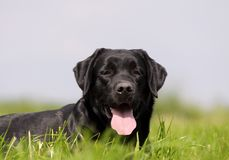 Labrador Retriever Portrait Royalty Free Stock Photos
