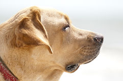 Labrador retriever portrait Stock Image