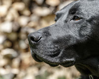 Labrador Retriever Portrait. The head of a black Labrador Retriever Royalty Free Stock Photo