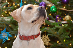 Christmas Labrador Royalty Free Stock Images