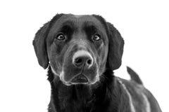 Labrador retriever preto Imagens de Stock Royalty Free